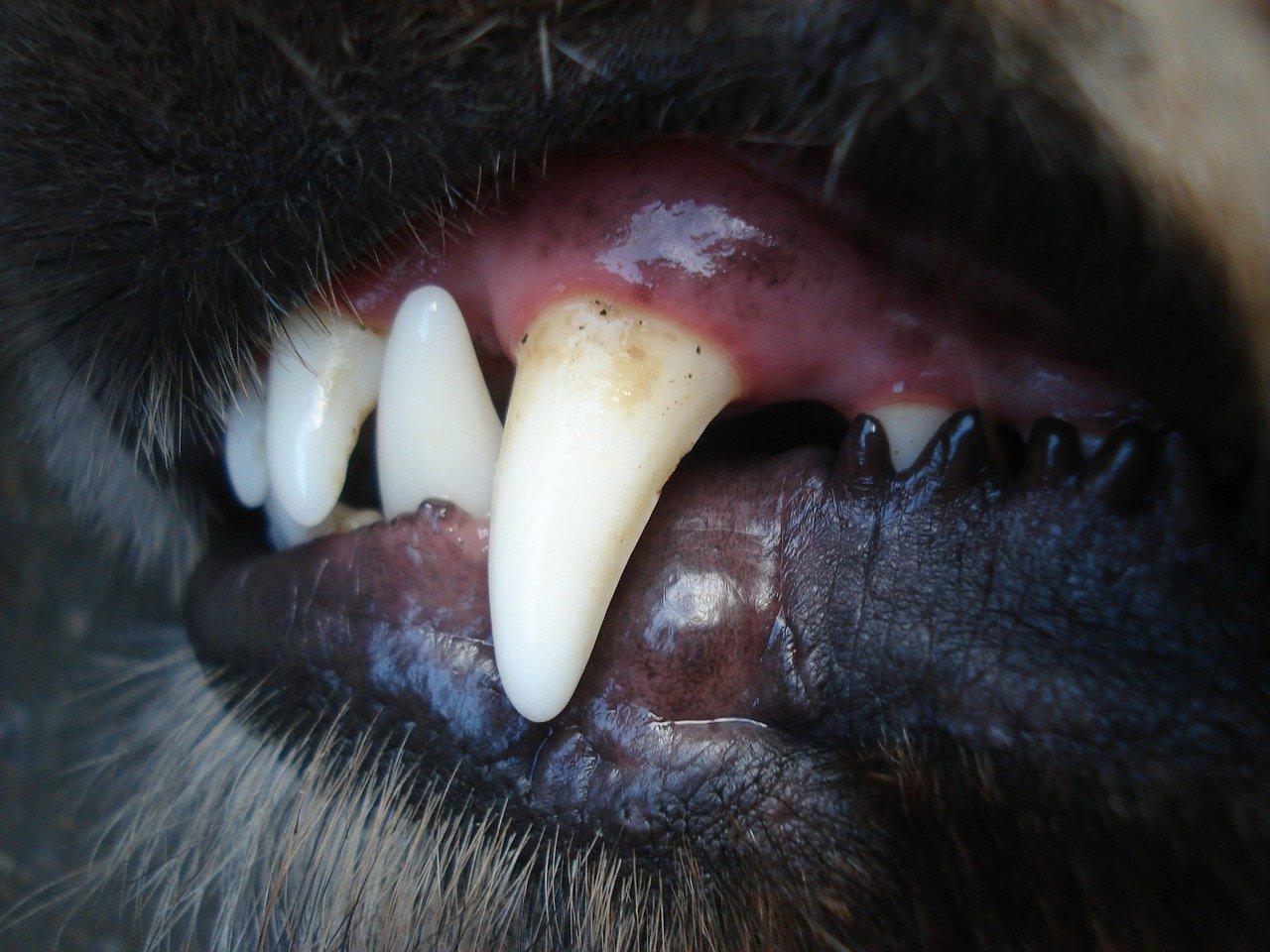 Pulizia denti del cane: come eseguirla perfettamente